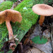 Lactarius rimosellus - Photo (c) tombigelow, some rights reserved (CC BY-NC)