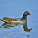 Common Moorhen - Photo (c) Ferran Pestaña, some rights reserved (CC BY-NC)