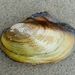 Fragile Papershell - Photo (c) Philippe Blais, some rights reserved (CC BY-NC-ND)