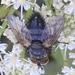 Eurithia anthophila - Photo (c) Paul Cook, algunos derechos reservados (CC BY-NC-ND)