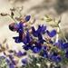 Mojave Indigo-Bush - Photo (c) Jim Morefield, some rights reserved (CC BY)