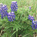 Lupinus nootkatensis - Photo (c) Cory Gregory, μερικά δικαιώματα διατηρούνται (CC BY-NC)