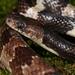 Lycodon - Photo (c) skink, μερικά δικαιώματα διατηρούνται (CC BY-NC-ND)
