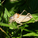 Ephippiger terrestris bormansi - Photo (c) Roberto Sindaco, algunos derechos reservados (CC BY-NC-SA)