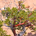 Bearberries and Manzanitas - Photo (c) Diego Tamayo, some rights reserved (CC BY-NC)