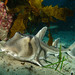 Port Jackson Shark - Photo (c) John Turnbull, some rights reserved (CC BY-NC-SA)