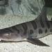 Tiburón Leopardo - Photo (c) Brian Gratwicke, algunos derechos reservados (CC BY)