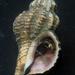 Urosalpinx cinerea - Photo (c) Robin Gwen Agarwal,  זכויות יוצרים חלקיות (CC BY-NC)