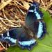 Vanesa Azul - Photo (c) Charles Lam, algunos derechos reservados (CC BY-SA)