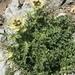 Cirsium spinosissimum - Photo (c) Muriel Bendel, algunos derechos reservados (CC BY-NC)