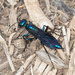 Steel-blue Cricket-hunter Wasp - Photo (c) Greg Lasley, some rights reserved (CC BY-NC)
