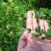Lespedeza × longifolia - Photo (c) Will Van Hemessen, some rights reserved (CC BY-NC)
