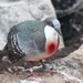 Luzon Bleeding-Heart - Photo (c) OZinOH, some rights reserved (CC BY-NC)