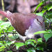 Violaceous Quail-Dove - Photo (c) HarmonyonPlanetEarth, some rights reserved (CC BY)