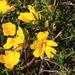 Hibbertia aurea - Photo (c) Graham Zemunik, some rights reserved (CC BY-NC)