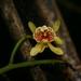 Pseudovanilla foliata - Photo (c) eliotmiller, algunos derechos reservados (CC BY-NC)