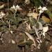 Anoectochilus reinwardtii - Photo (c) eliotmiller, alguns direitos reservados (CC BY-NC)