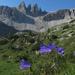 Campanula scheuchzeri - Photo (c) Roger Frost, μερικά δικαιώματα διατηρούνται (CC BY-NC)