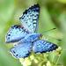 Mariposa Turquesilla - Photo (c) Dave Wendelken, algunos derechos reservados (CC BY-NC)
