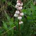 Lesser Wintergreen - Photo (c) Kari Pihlaviita, some rights reserved (CC BY-NC)