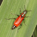 Anthocomus rufus - Photo (c) Jarvo, algunos derechos reservados (CC BY-NC)