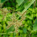 Cyperus pilosus - Photo (c) Cheng-Tao Lin, some rights reserved (CC BY)