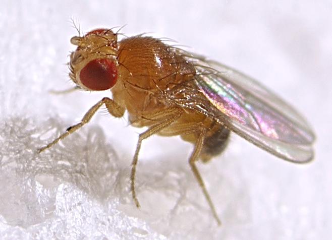 Mosca del Vinagre (Drosophila melanogaster) · NaturaLista