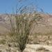 Fouquieria splendens splendens - Photo (c) Jim Morefield, algunos derechos reservados (CC BY)