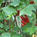 Ribes spicatum - Photo (c) Kari Pihlaviita, algunos derechos reservados (CC BY-NC)
