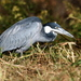 Black-headed Heron - Photo (c) fayne, some rights reserved (CC BY-NC)