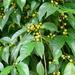 Ficus ampelos - Photo (c) Yaling Lin, algunos derechos reservados (CC BY-NC)