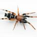Sergiolus capulatus - Photo (c) Matt Claghorn,  זכויות יוצרים חלקיות (CC BY-NC)