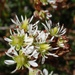 Tolmie's Saxifrage - Photo (c) Tom Hilton, some rights reserved (CC BY), uploaded by tomhilton