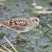 Least Sandpiper - Photo (c) greglasley, some rights reserved (CC BY-NC), uploaded by Greg Lasley