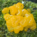 Tremella - Photo (c) wanderflechten, some rights reserved (CC BY-NC-ND)