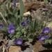 Phacelia curvipes - Photo (c) Jim Morefield,  זכויות יוצרים חלקיות (CC BY)