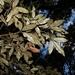 Heritiera trifoliolata - Photo (c) Nicholas John Fisher, algunos derechos reservados (CC BY-NC)
