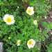 Aleutian Avens - Photo (c) belvedere04, some rights reserved (CC BY-NC)