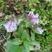 Pennellianthus frutescens - Photo (c) belvedere04, algunos derechos reservados (CC BY-NC)