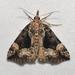 Hypena palparia - Photo (c) Roger Rittmaster,  זכויות יוצרים חלקיות (CC BY-NC)