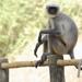 Langur Gris de Pies Negros - Photo (c) harshithjv, algunos derechos reservados (CC BY-NC)