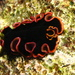 Glorious Flatworm - Photo (c) Richard Ling, some rights reserved (CC BY-NC-SA)