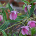 Calochortus amoenus - Photo (c) Steve Garvie, algunos derechos reservados (CC BY-NC-SA)