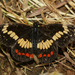 Eumeda Checkerspot - Photo (c) Ale Türkmen, some rights reserved (CC BY-NC-SA)