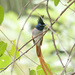 Paradise-Flycatchers - Photo (c) Sergey Yeliseev, some rights reserved (CC BY-NC-ND)