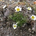 Entireleaf Daisy - Photo (c) Bruce Bennett, some rights reserved (CC BY-NC)