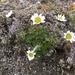 Chrysanthemum integrifolium - Photo (c) Bruce Bennett, algunos derechos reservados (CC BY-NC)