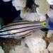Cheilodipterus quinquelineatus - Photo (c) Klaus Stiefel, algunos derechos reservados (CC BY-NC)