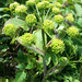 Mountain Angelica - Photo (c) Grandfather Naturalists, some rights reserved (CC BY-NC)