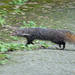 Taiwan Crab-eating Mongoose - Photo (c) Alex Shen, some rights reserved (CC BY-NC)